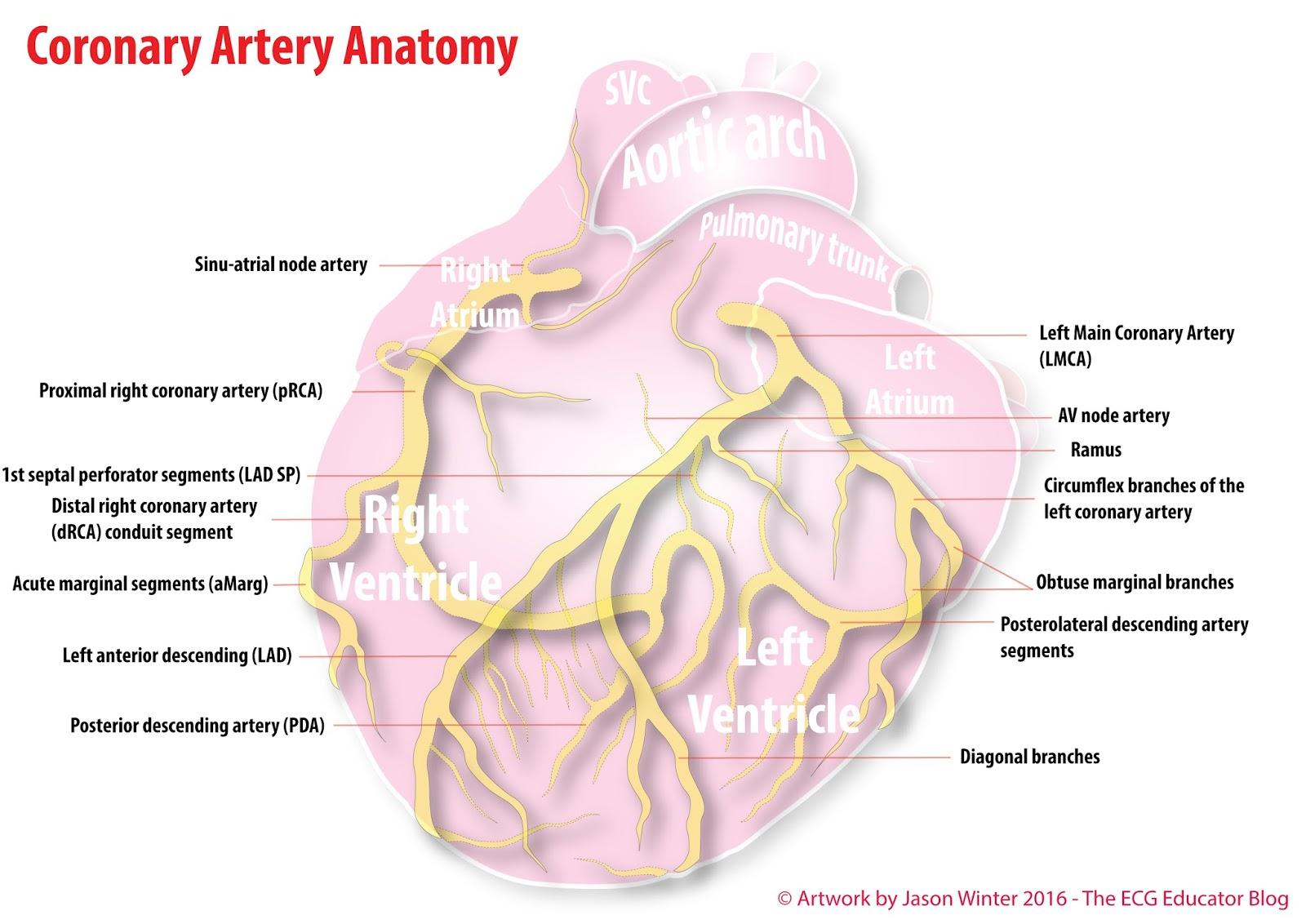 Coronary Artery Anatomy #MedStudent #Anatomy #Coronary #Artery ...