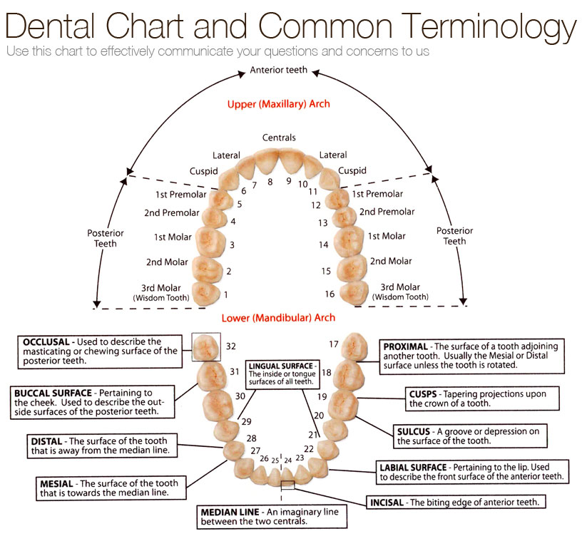 Dental Chart And Common Terminology Em Trauma Dentistry Tooth