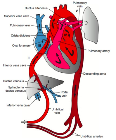 Fetal Circulation Pathophys Cardiology Anatomy Peds Pediatrics