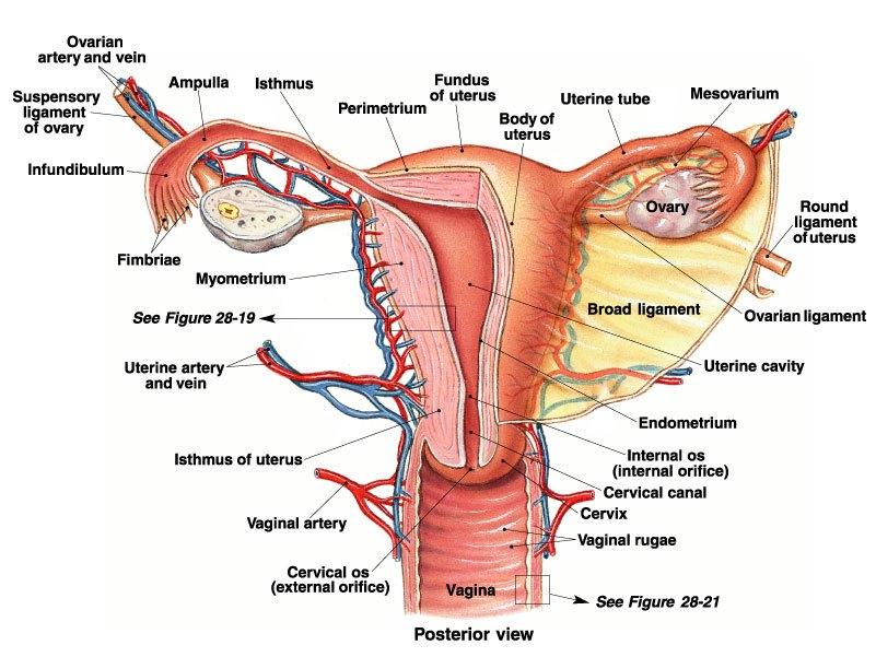 Anatomy #Uterus #Ovary #Vagina #Fallopian #Tubes #Ovarian #Round ...