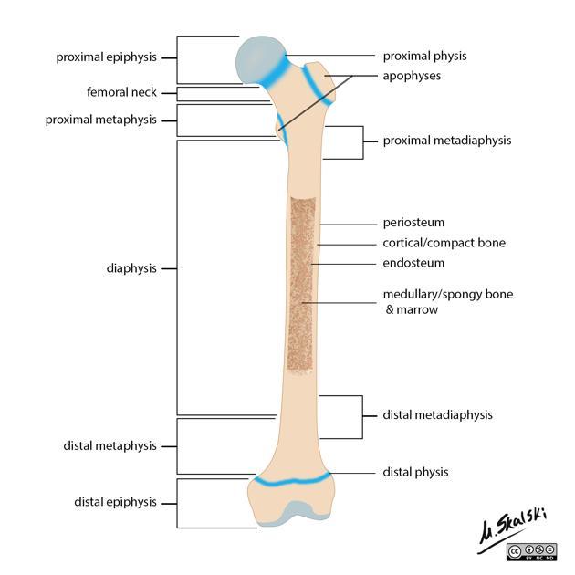 Figure 1 Bone Terminology Diagram Br Anatomy Longbone