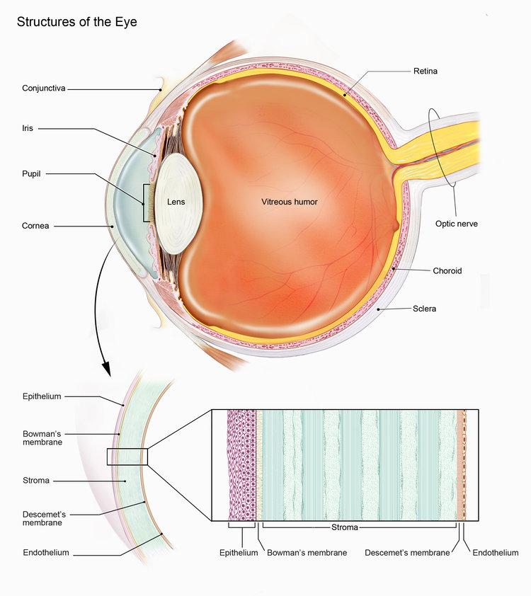 Cornea Anatomy #Anatomy #Ophthalmology #Corneal #Bowmans #Descemets #Membrane