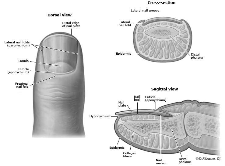 Nail Anatomy<BR> #Anatomy #Fingernail #Nailbed #Eponychium ...