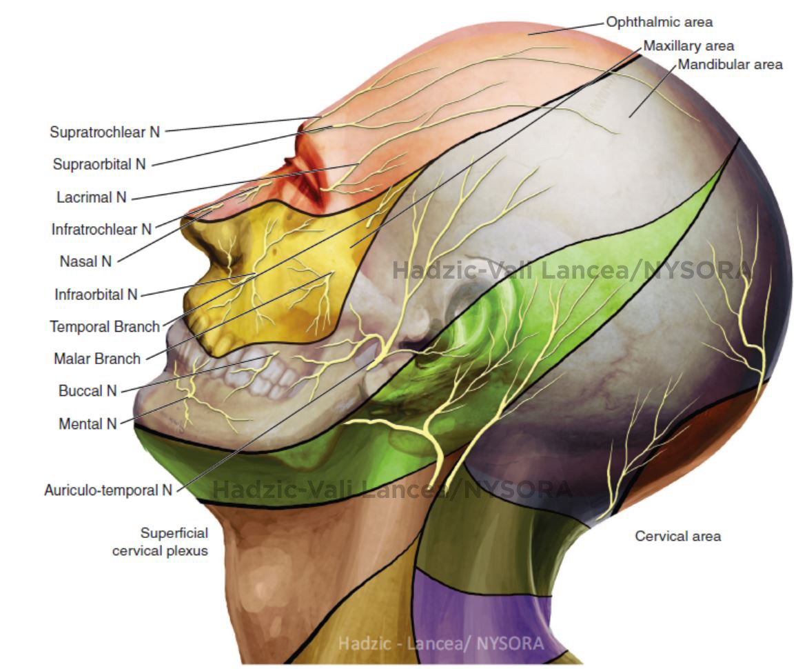 "Scalp Nerve Block Anatomy <BR> The ""scalp block"" is classically ..."