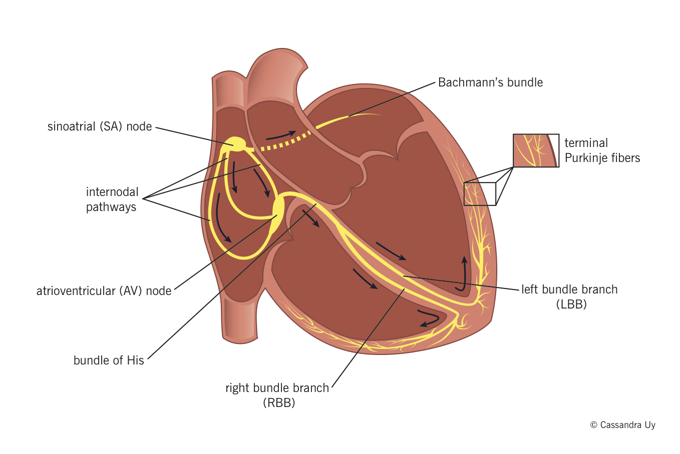 Cardiac conducting system <BR> - Sinoatrial (SA) node normally ...