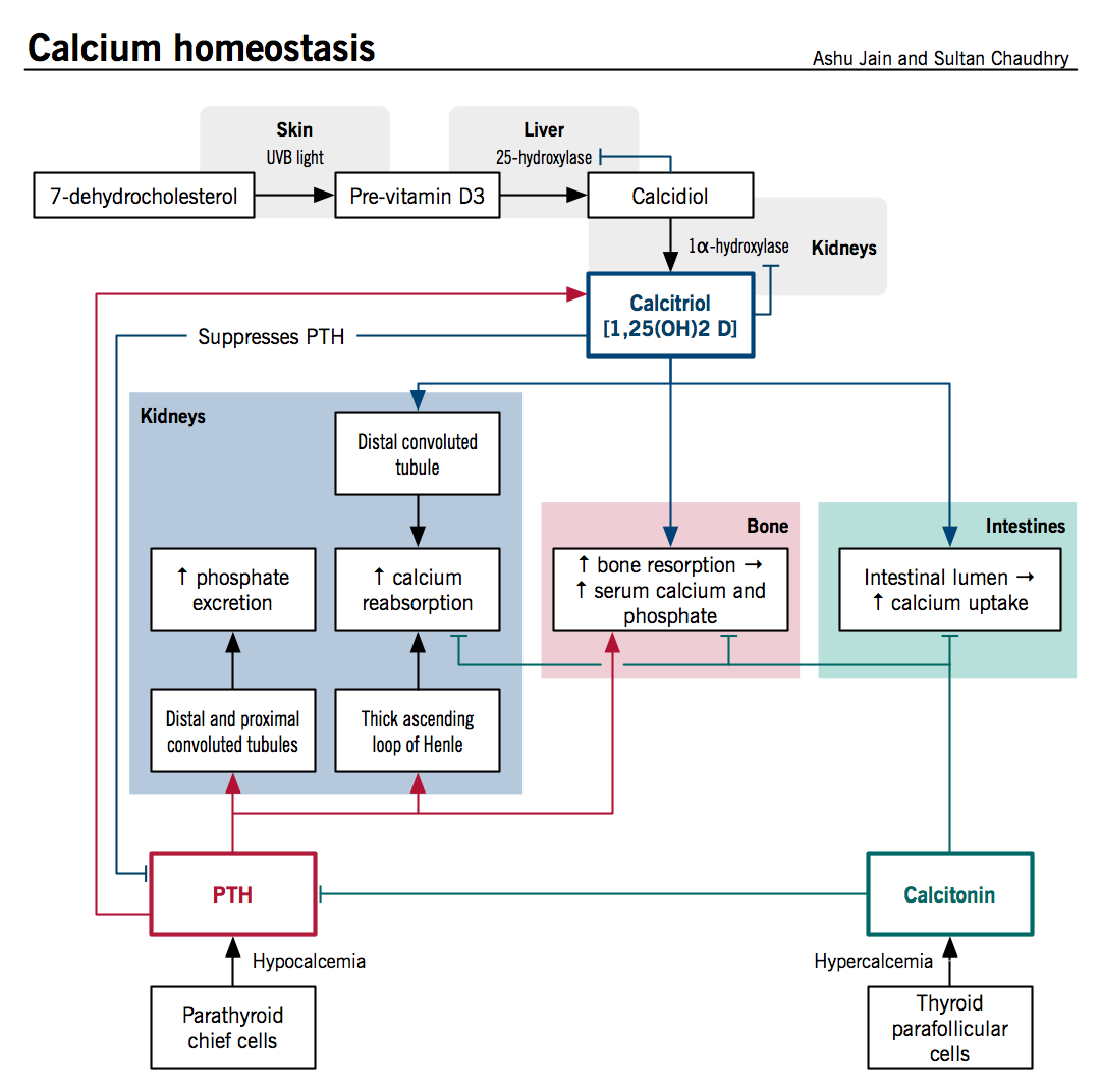 Calcium Homeostasis Is A Process Controlled By Chiefly Hormones. Calcium Homeostasis Is A Process Controlled By Chiefly Hormones Vitamin D And Pth <. Wiring. Homeostasis Diagram Of Vit D At Scoala.co