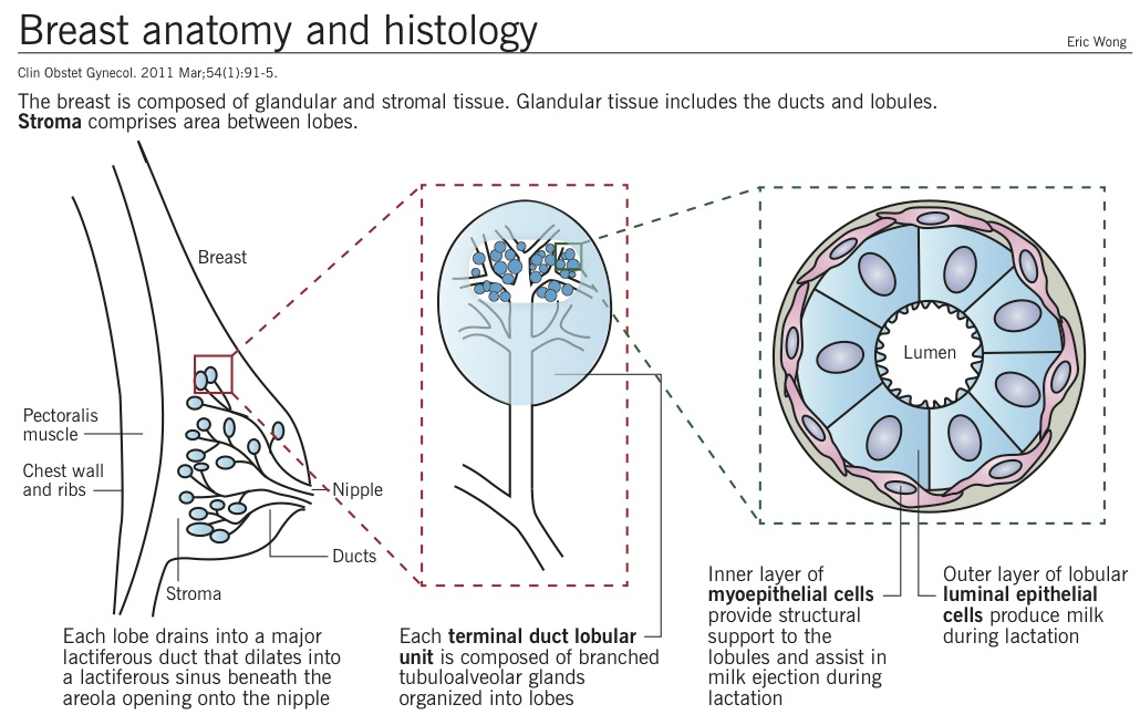 Breast Anatomy and Histology <BR> #Anatomy #Histology #Breast ...