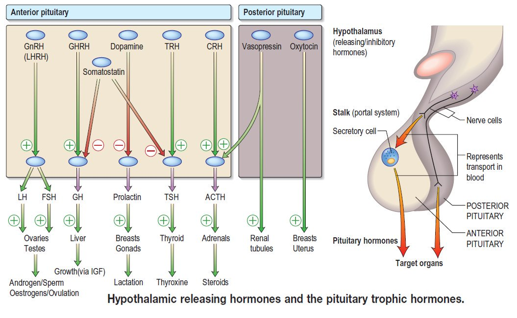 Hypothalamic releasing hormones and the pituitary trophic