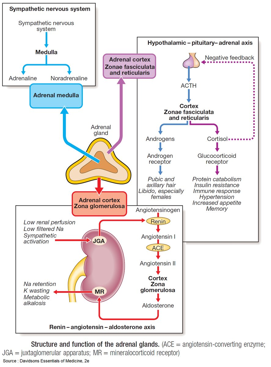 Structure and function of the Adrenal Glands <BR> #Adrenal #Glands #Function