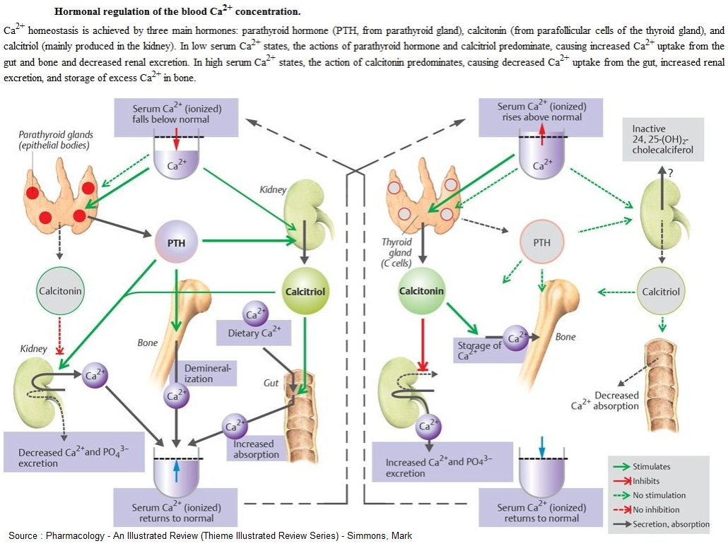 Hormonal Regulation of the Blood Calcium concentration