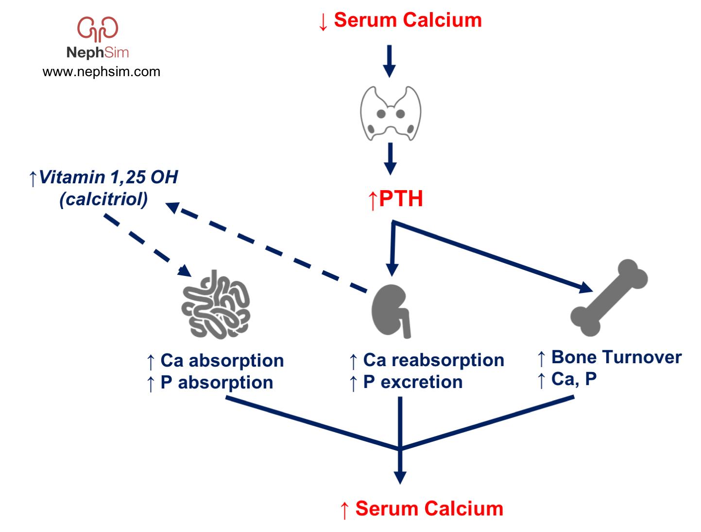 Calcium Homeostasis Serum Calcium - PTH - Vitamin D Regulation ...